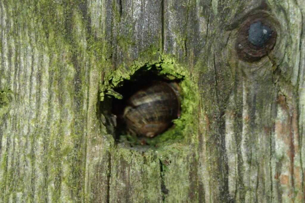 Fence post hidey-hole for a sleepy snail
